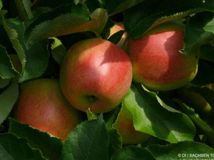 Fasten und Äpfel